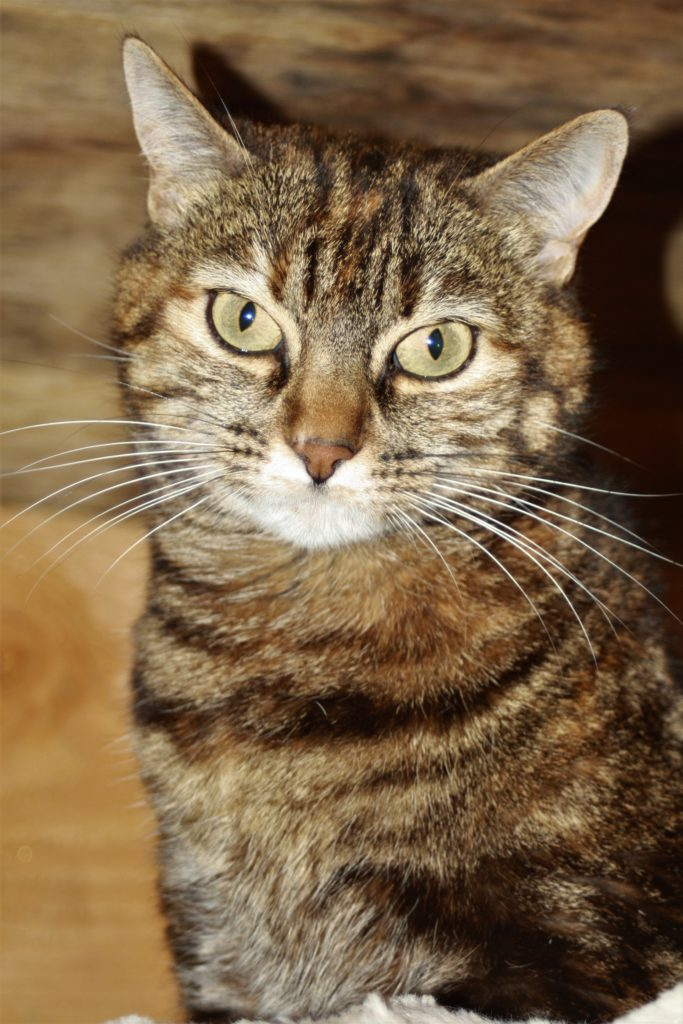 Pretty Minette, a 5 year old tabby cat