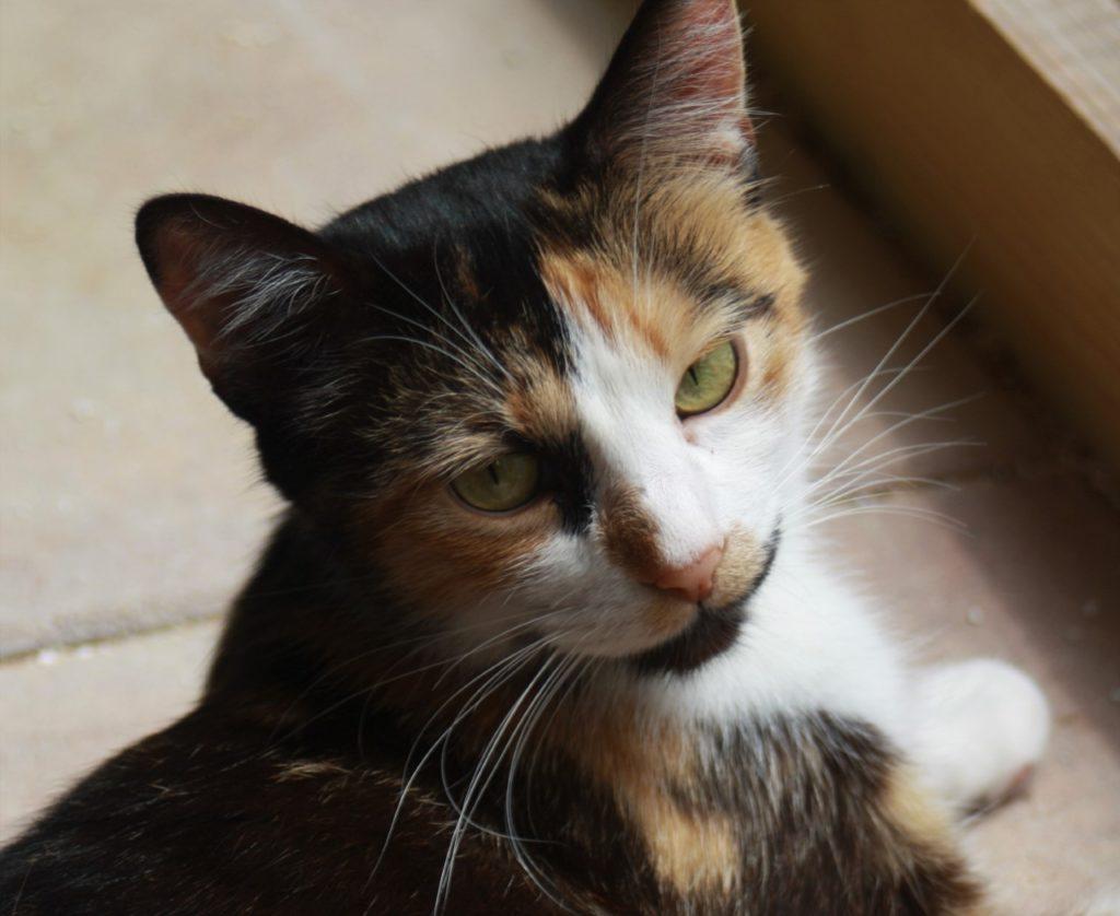 Trixie tri-coloured cat