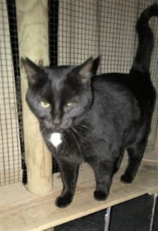 Twiggy black female cat with white diamond on chest