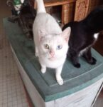 Blanche 1 of 10 cats rescued in Parthenay