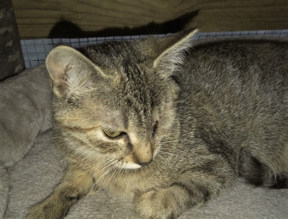 Pretty tabby female kitten lost an eye because of infection